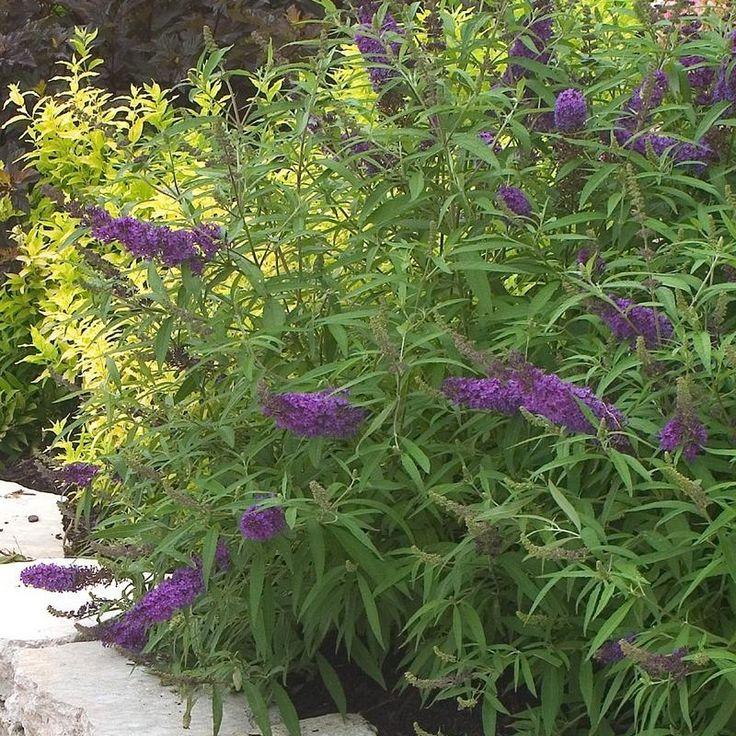 buddleia davidii 39 purple emperor 39 arbre aux papillons. Black Bedroom Furniture Sets. Home Design Ideas