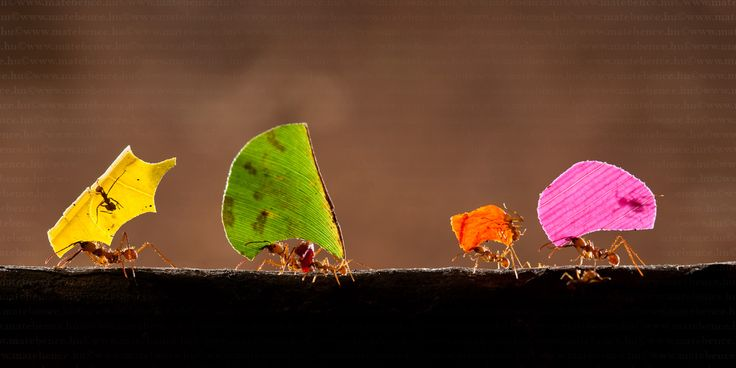 Leafcutter Ants by MATE BENCE