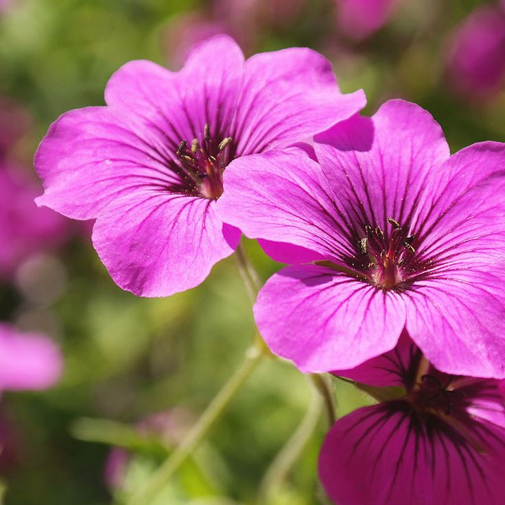 Geranium Patricia - Perennials that deliver bright pink year after year.