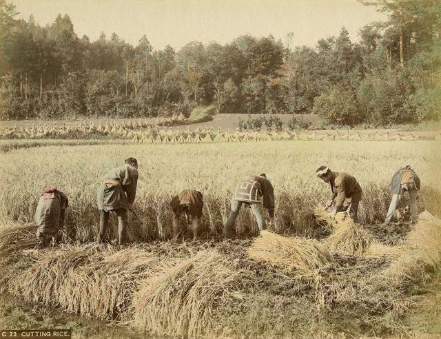 米の収穫 -- 【タイムスリップ】幕末から明治へ「1800年代末の日本」の臨場感あふれる写真たち