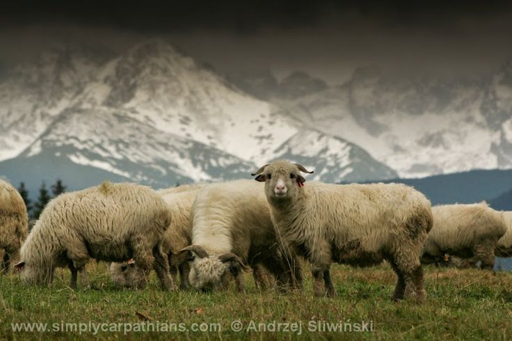 through geographer's eyes: Shepherding in the Tatra and other Polish mountains