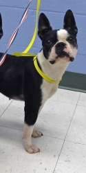 Kendall is an adoptable Boston Terrier Dog in Edmonds, WA. ***Please consider being a foster mom and dad to a pet in need. It is a very rewarding experience and it will help save a dog's life.*** ** F...Foster Mom, Terriers Dogs, Helpful Saving, Adoption Boston, Rewards Experiments, Boston Terriers, Please Consider, Dogs Life