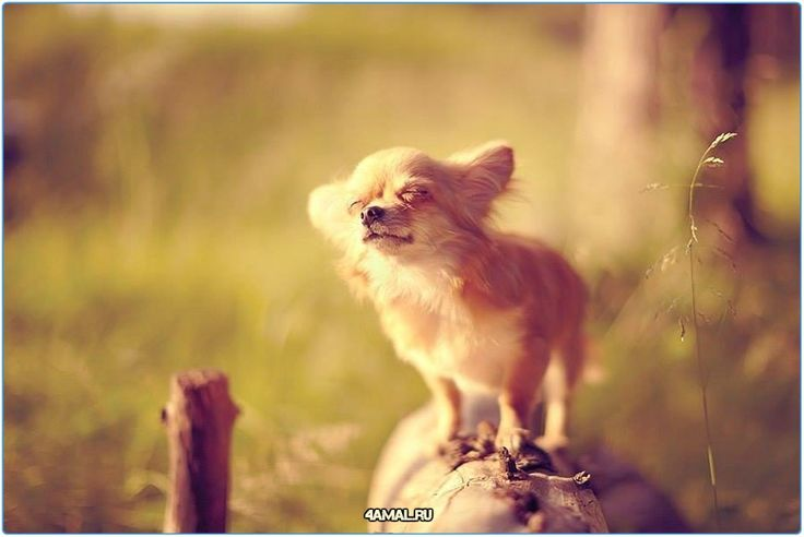 Чихуахуа на солнышке греется  #настроение #пятница #добро #животные #россия #самоед #шелти #чихуа #щенки #собака #собаки #москва #спб #тула #самара #dogs #doggy #dog #animals #pet #pets #animal #russia #moskow #cute #cuttie