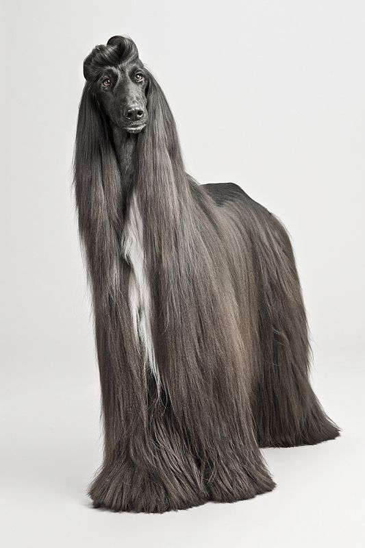 Afghan Hound ♥ Loved and pinned by Noah's Ark Mobile Vet Service | 250-212-5069 | Kelowna #pets
