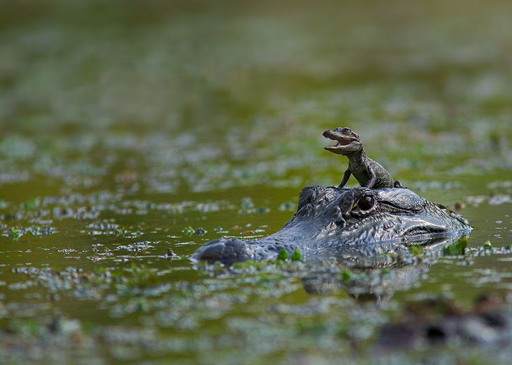 Crocodile Mom Gives The Best Rides
