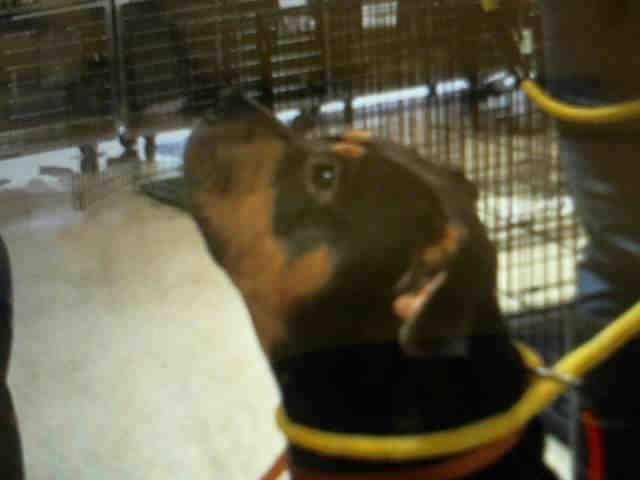 Rottweiler-American Pit Bull Terrier dog for Adoption in Tavares, FL. ADN-672132 on PuppyFinder.com Gender: Female. Age: Adult