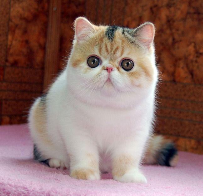 Exotic Shorthair Cat For Sale - http://pets-ok.com/exotic-shorthair-cat-for-sale-cats-1706.html
