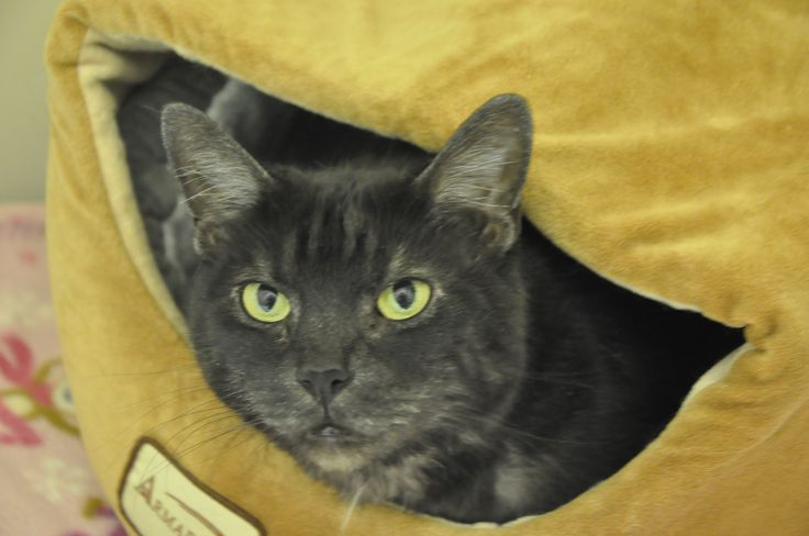 Greetings! My name is Teddy - I'm a lovely, seven year old smoke tabby hoping to find my forever home! Running, playing, and petting are some of my favorite things. Sound like a match? Visit me soon, I'm quite the gentleman. http://www.homewardpet.net/available-cats-kittens/ My shelter friends and I hope to see you for Homeward Pet's 25th Anniversary Adoption Event tomorrow (Sat, Feb. 28) from 12-6pm! All adoptions are just $25 - plan to meet your new best friend!