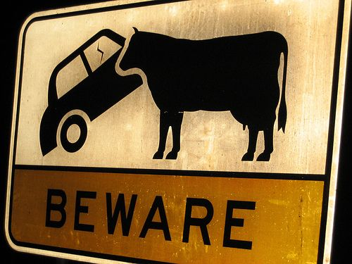 Is this trying to say beware of hitting a cow or a cow eating your car? Low cognitive effort