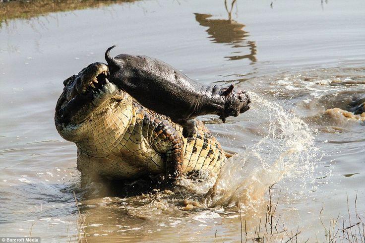 Saltwater crocodile vs tiger - photo#13