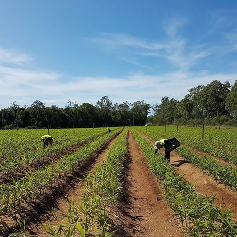 The #ginger #team have been busy #weeding all of the blocks to ensure that the #weeds are not taking much needed #moisture and #fertilisers from the ginger. #aussiefarming #bundaberg #queensland #carterandspencer #latergram