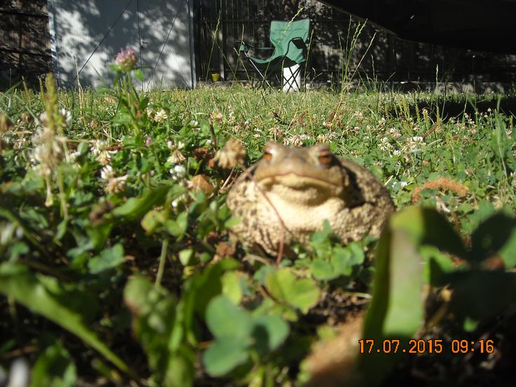 the same frog...in my garden