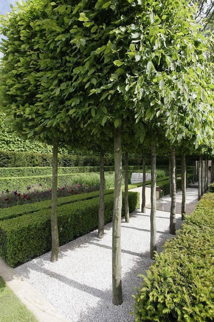 Carpinus betulus blokvorm en Buxushagen