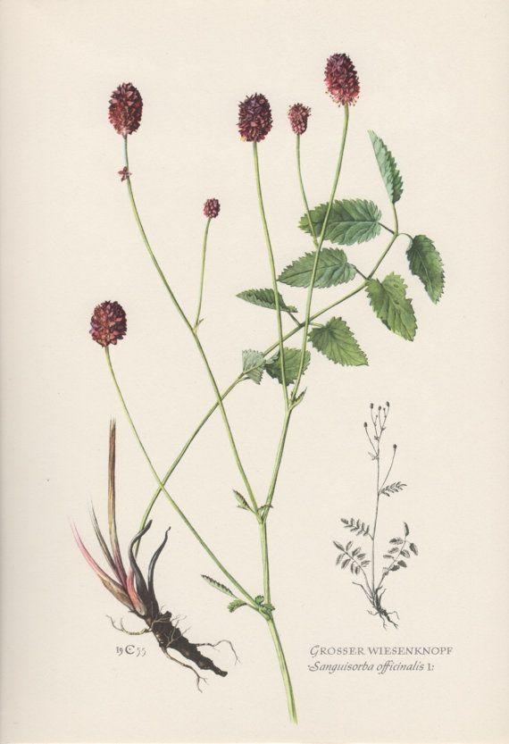 1955 Ornamental Burnet Vintage Botanical Print by Craftissimo