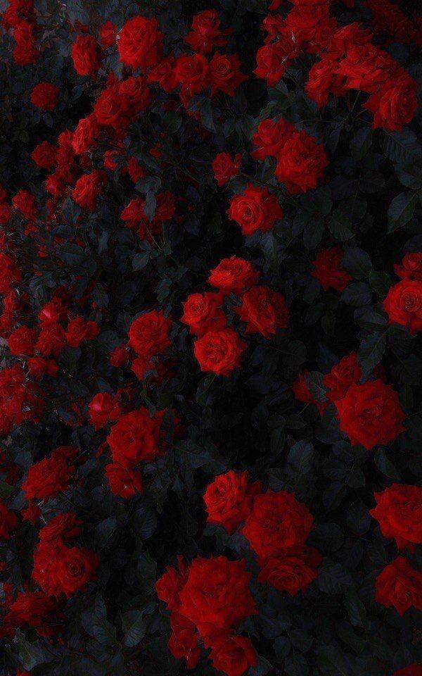 Dunkle Rose