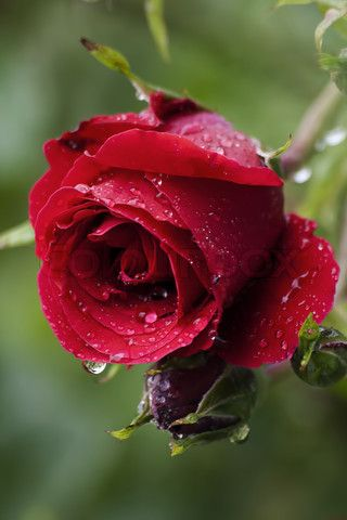 Best 25+ Red rose flower ideas on Pinterest | Beautiful red roses ...