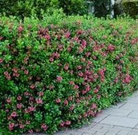 escallonia apple blossom hedge - Google Search