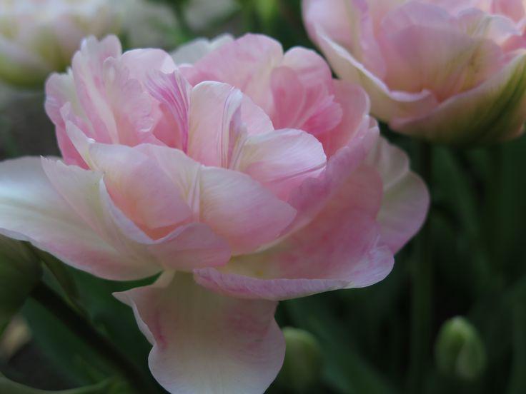 Double Early Finola Tulip