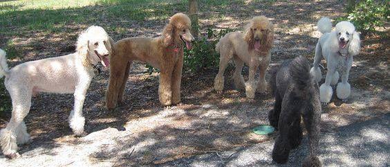 Florida Poodle Rescue