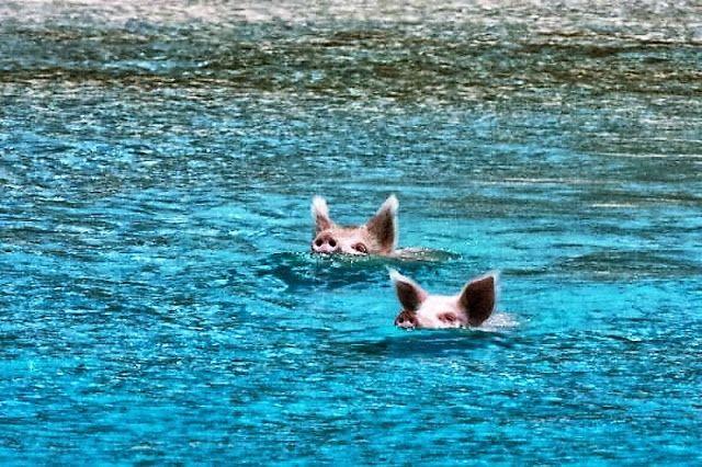Zwemmende en spelende biggetjes in zee en op het strand.