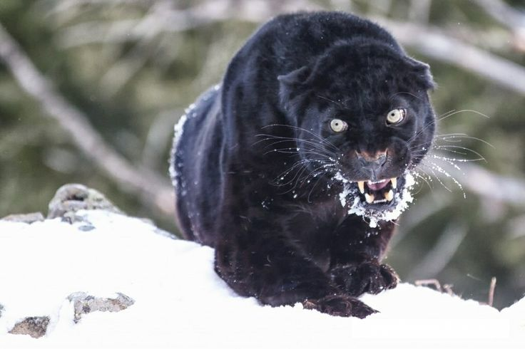 angry baby cheetah - photo #35