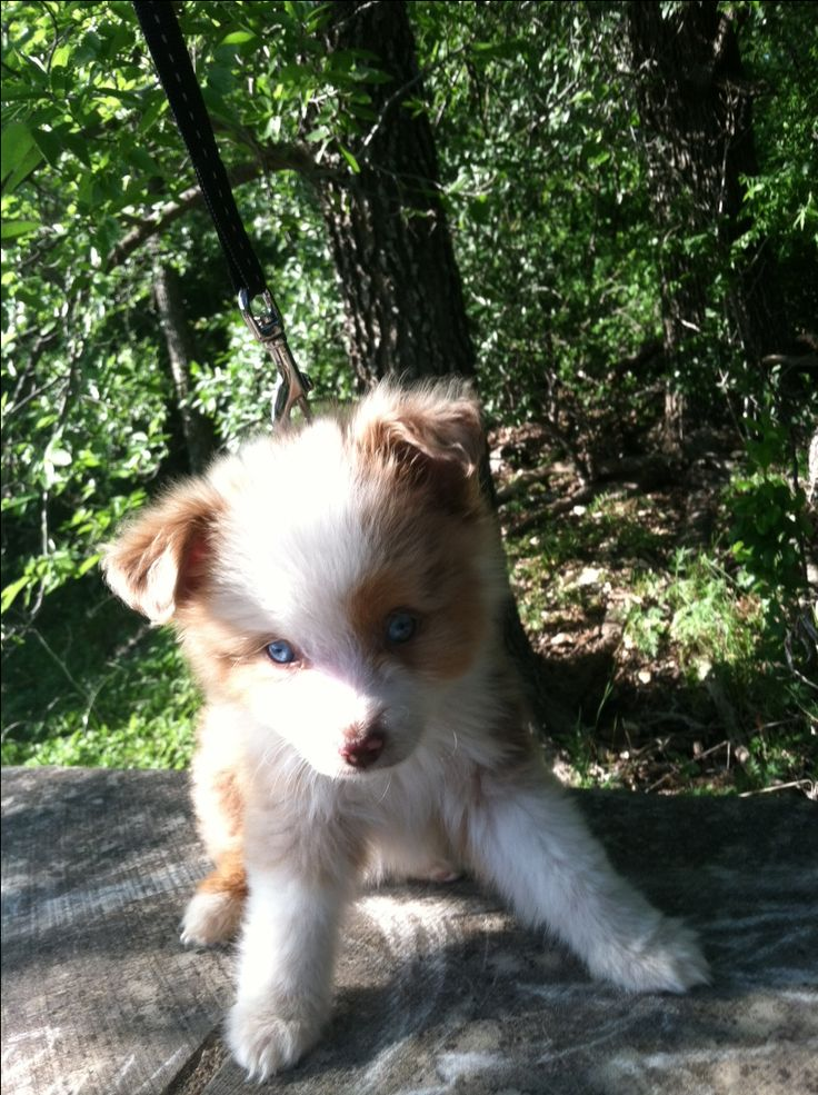 Toy Australian Shepherd puppy #pennychubbles.  This pup is the cutest thing ever!