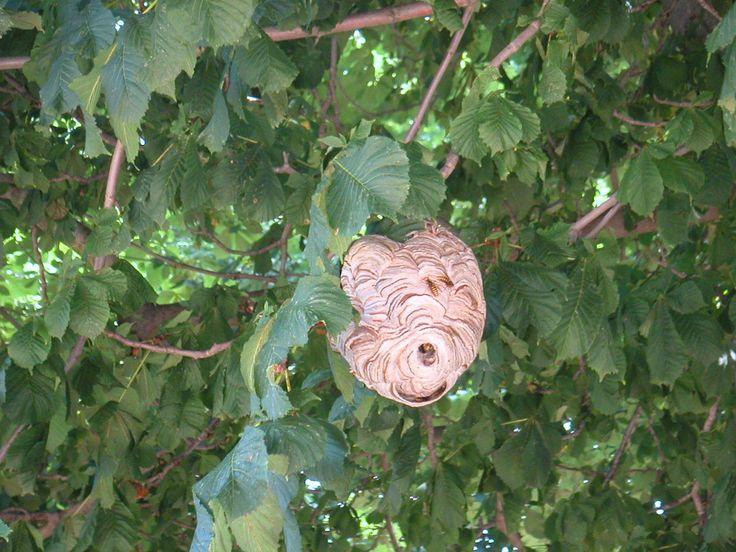 een wespennest in de struik in Apeldoorn