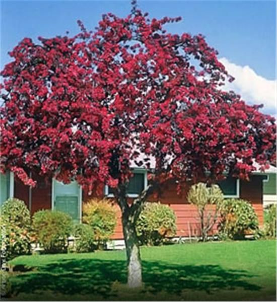 Prairifire Flowering Crabapple -  http://www.finegardening.com/fast-growing-trees-avoid