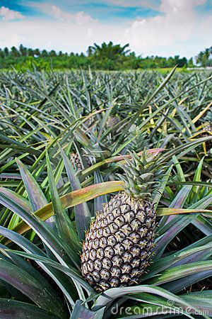 Bike riding downhill in Maui,...right throuh the Pineapple Farms..awesome.