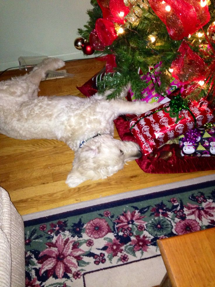 Our doodle keeps trying to sleep under the Christmas tree ...