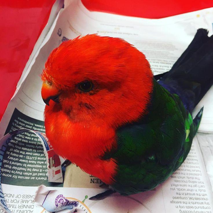 northnowravet_and_jervisbayvetBeautiful King Parrot ❤️ Unfortunately he's a little bit sick  #jervisbayvet #northnowravet #australianwildlife #kingparrot #jervisbaywild