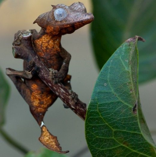 Best Lizards Such Images On Pinterest Geckos Reptiles And - Majestic dragon lizard caught playing leaf guitar indonesia
