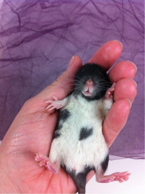 441 best Love Rats, mice, ferrets, hamsters and other tiny ...