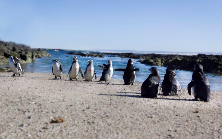 First SANCCOB EC Penguin Release