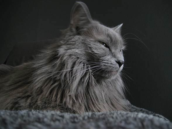 Nebelung – a cat from fairytales   DinoAnimals.com