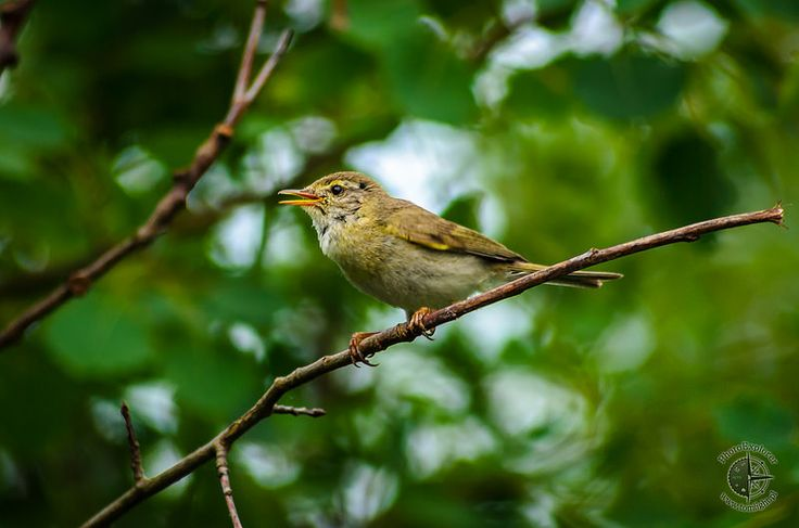 Piecuszek | Willow Warbler - Fauna
