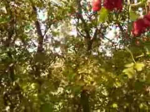 Paducelul --Stapanul inimii -Copac medicinal -Farmacia naturii
