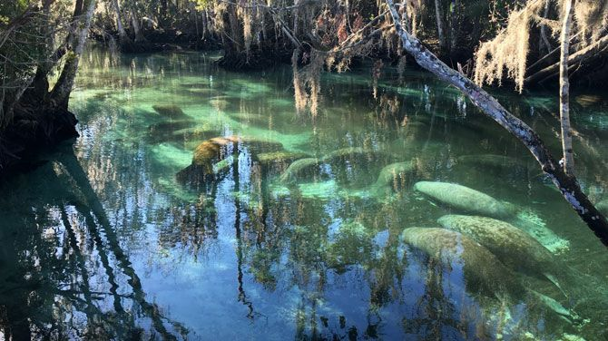Recordaantal zeekoeien geteld in Florida