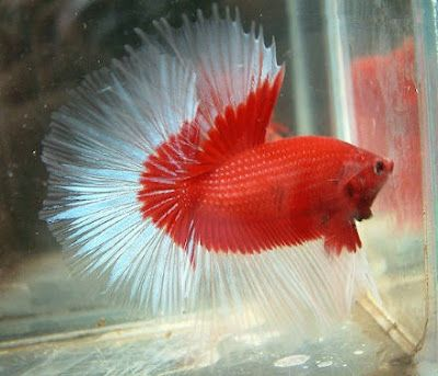 114 best images about what is it about fish and fish in for Betta fish water temp