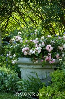 126 Best Images About Garden Rose On Pinterest