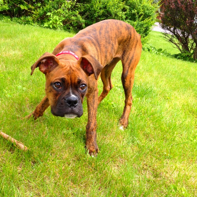: Boxer Dogs, Boxers Baby, Boxers Dogs, Breeds Spotlight, Boxers Bananas, Animals 3, Gonna, Tucker Boxers, Dogs Obsession