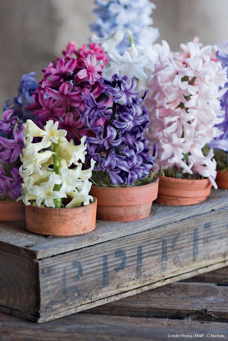 Jacinthes en pots