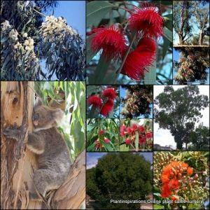 Eucalyptus Gum trees x 10 plants 4 Variety mix Screen Australian Native Garden Plants $29.95