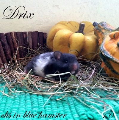 Drix chs in blue hamster
