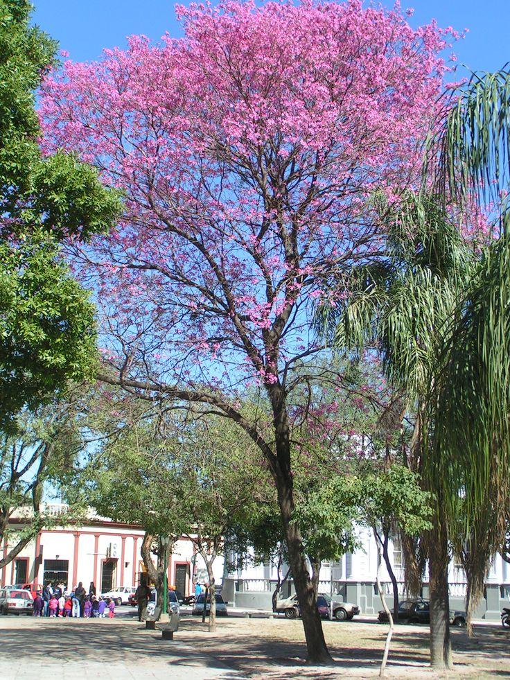 El Lapacho,Pau d'Arco o Tabebuia adenophilla protege frente a infecciones. De hongos, parásitos, virus y bacterias que entran en el …