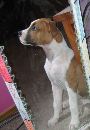 Bullboxer Pit Dog Breed Information and Pictures