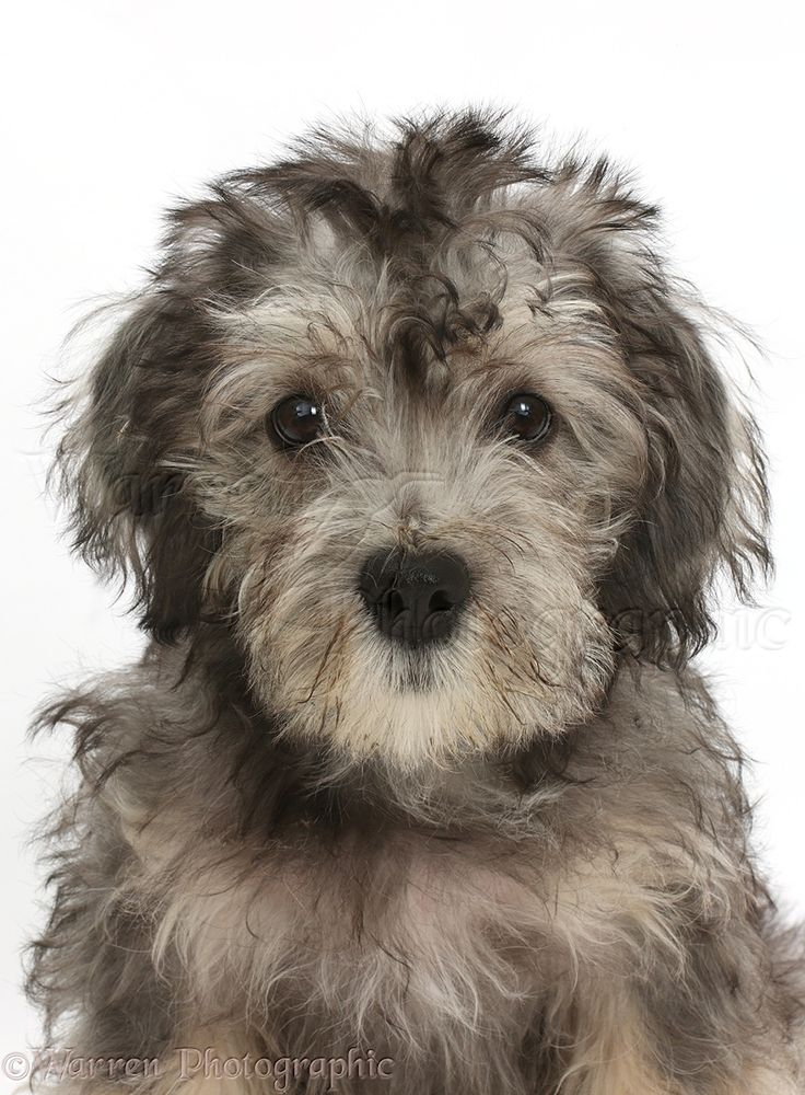 Dandy Dinmont Terrier puppy
