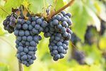 If you are lucky enough to live in an area where Concord grapes are grown, you can make a simple wine using the fresh grapes. For every gallon of wine you plan to make you will need approximately 6 to 8 pounds of fresh, clean Concord grapes. You will also need wine yeast, which can be purchased at a local brew shop or online from various retailers....