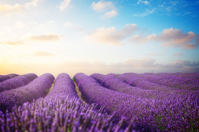 Lavender by Neirfy on @creativemarket