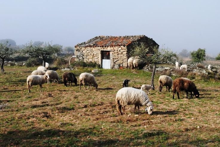 Churra Badana (?) Associação Transumância e Natureza: Pastoreio de ovinos